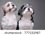 Stock photo studio shot of two adorable havanese dog isolated on grey background 777232987