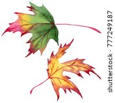 maple leaves in a watercolor...   Shutterstock . vector #777249187