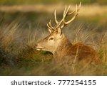 Red Deer Stag Lying In The...