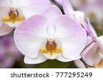 purple phalaenopsis orchid... | Shutterstock . vector #777295249