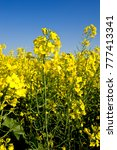 Small photo of Canola closeup, Canola is grown for animal feed also oil and margarine previous name was rape