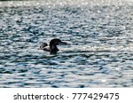 Small photo of Common loon in gray water of north lake on sunset. Immer gavia