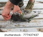 man removing hook from catfish | Shutterstock . vector #777437437