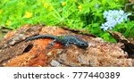 Small photo of Blue-spotted Salamander (Ambystoma laterale) sits in a spring woodland in Illinois
