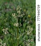 Small photo of Edible Valerian - Mountain Wildflower
