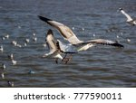 flying brown headed gull at... | Shutterstock . vector #777590011