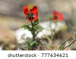 Small photo of Pheasant's-eye (Adonis annua) in flower. Plant in the buttercup family (Ranunculaceae) growing on hillside in Azerbaijan