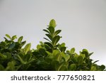 green leaves bush in blur... | Shutterstock . vector #777650821