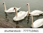 Four Swans In River Waters...