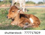 Brown Calf Lying On The Lawn