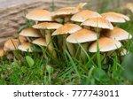 Hypholoma Fasciculare  Sulphur...