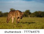 wild crab eating fox or maikong ... | Shutterstock . vector #777764575
