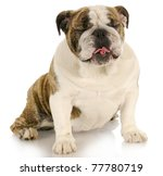 funny dog   english bulldog... | Shutterstock . vector #77780719