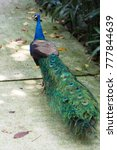 Small photo of Peacock or peafowl include three species of birds in the genera Pavo and Afropavo of the Phasianidae family, the pheasants and their allies.