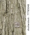 Small photo of Bark of American elm (botanical name: Ulmus americana), a hardy tree native to eastern North America