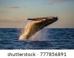 Humpback Whale Bathed In Golde...