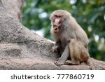 a young hamadryas baboon with... | Shutterstock . vector #777860719