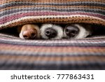 Stock photo couple of dogs in love sleeping together under the blanket in bed warm and cozy and cuddly 777863431