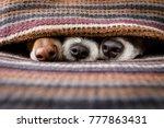 couple of dogs in love sleeping ... | Shutterstock . vector #777863431