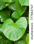 Araceae Leaves  Heart Shape...