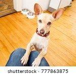 podenco dog ready for a walk... | Shutterstock . vector #777863875