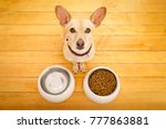 hungry  chihuahua podenco dog... | Shutterstock . vector #777863881