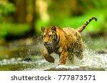 siberian tiger  panthera tigris ... | Shutterstock . vector #777873571