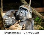 gorilla in cabarceno natural... | Shutterstock . vector #777992605