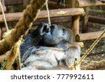 gorilla in cabarceno natural... | Shutterstock . vector #777992611