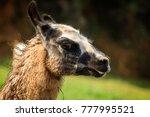 alpaca head in cabarceno... | Shutterstock . vector #777995521