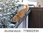 Stock photo siberian cat in winter 778002934
