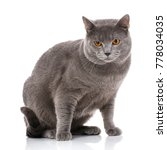 chartreux cat on a white... | Shutterstock . vector #778034035