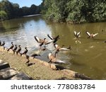 brown ducks flapping wings  ...   Shutterstock . vector #778083784