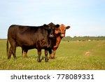 Cows In Summer Field