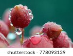 Small photo of Raindrops on the pods of a bryophyllum plant.