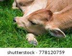 Calf Sleeping In A Field