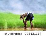 Asian Farmer Transplant Rice...