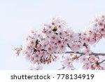 Cherry Blossom In Spring....