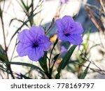 wild purple flowers bloom in... | Shutterstock . vector #778169797
