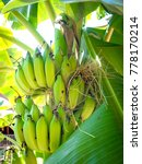 the banana is on the tree with... | Shutterstock . vector #778170214