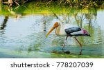 a painted stork searching its...   Shutterstock . vector #778207039