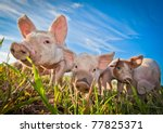 three pigs on a pigfarm in...