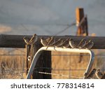 Chipping Sparrows On A Fence