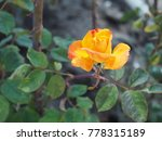 a rose with orange petal in a