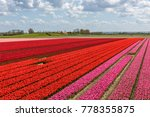 Tulip Fields In Holland On A...
