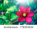 Small photo of Beautiful large scarlet clematis flower on a background of green leaves in nature close-up macro. Gorgeous snazzy colorful artistic image spring, summer.