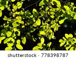 leaf background texture pattern | Shutterstock . vector #778398787