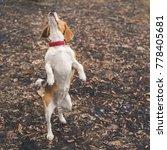 cute beagle spending time... | Shutterstock . vector #778405681