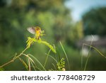 asian golden weaver ploceus... | Shutterstock . vector #778408729
