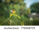 asian golden weaver ploceus... | Shutterstock . vector #778408729